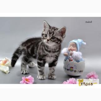 Котенок мальчик. Американский короткошерстный. Редкая порода
