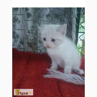 Котёнок балинезийской породы