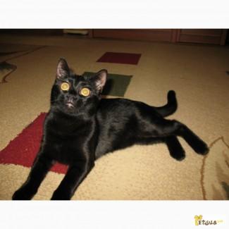 Бомбейская кошка требует вязки