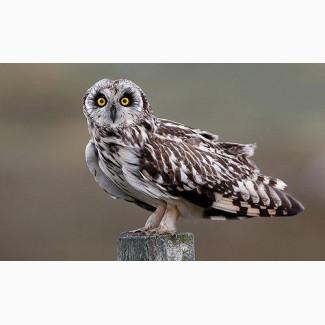 Куплю пташеня болотної сови