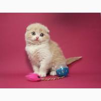 Котенок фолд кремового с белым окраса