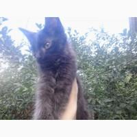 Даром отдам котенка-мальчик порода НИБЕЛУНГ