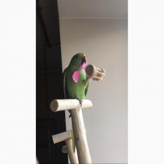 Улетел ожереловый попугай