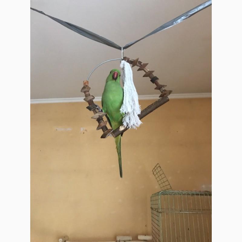Фото 2/3. Улетел ожереловый попугай