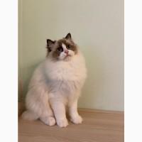 Котята Ragdoll