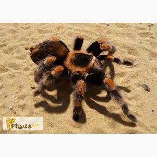 Продаётся Гигантский паук птицеед, тарантул Ласидора