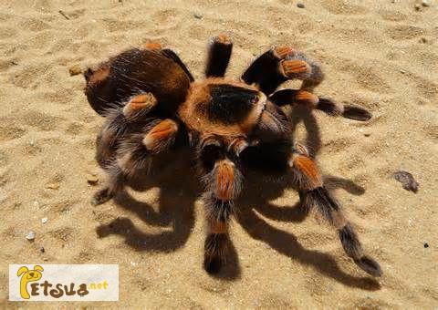 Фото 1/1. Продаётся Гигантский паук птицеед, тарантул Ласидора