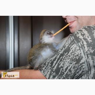 Предлагаю совершенно ручных Карликовых зелёных мартышек (верветок)