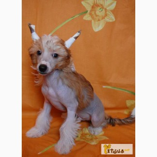 Красивые, породные щенки Китайсклй хохлатой собачки