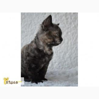 Котёнок Devon Rex