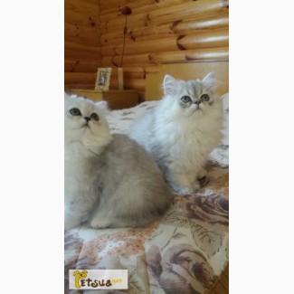 Котята персидские, серебристых шиншилл