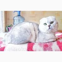 Вязка с шотландским котом, шиншилла