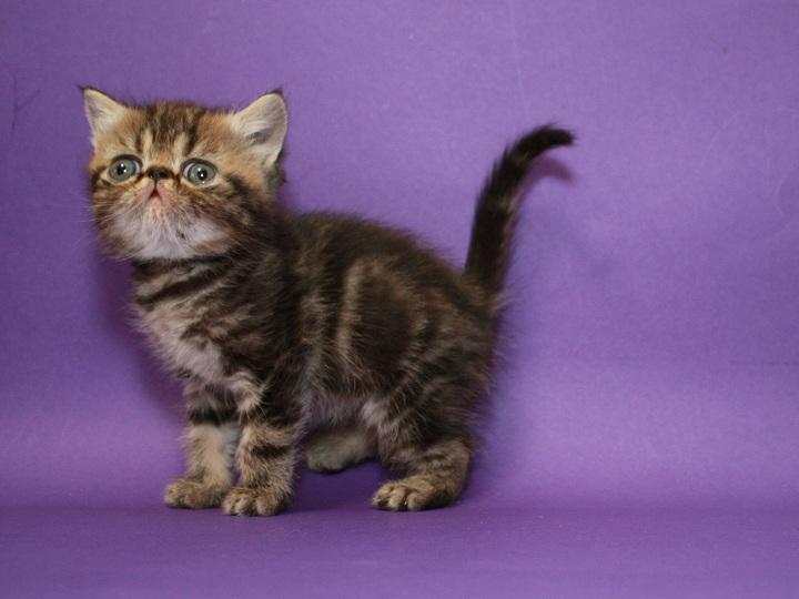 Фото 1/3. Предлагаем Экзотического котёнка. Мальчик чистокровный