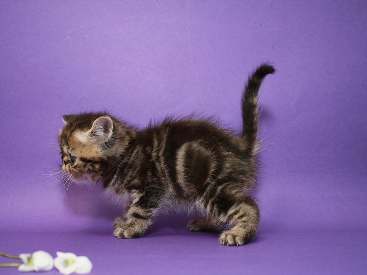 Фото 3/3. Предлагаем Экзотического котёнка. Мальчик чистокровный