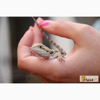Продаются Агама, хамелеон, геккон- ручные ящерицы.