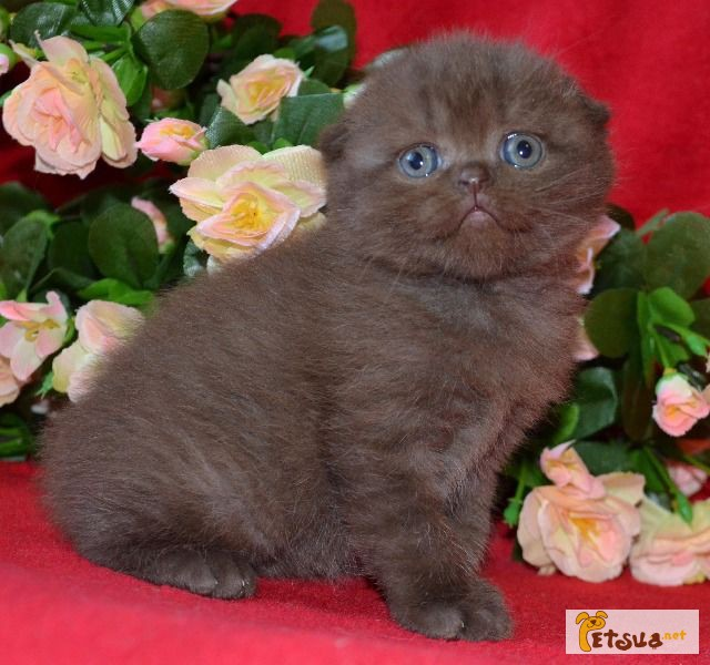 Шотландские котята шоколадного окраса фото