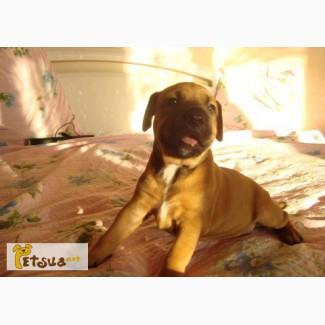 Золотистый щенок питбультерьера с сердечком на хвостике