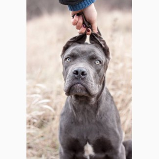 Продам щенка Кане Корсо