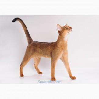 Абиссинский котенок из питомника SmartABY (Киев)