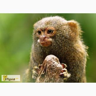 Продам Карликовую игрунку (Cebuella pygmaea)