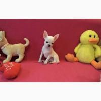 ЧИХУАХУА - кукольный, маленький, шустрый комочек счастья
