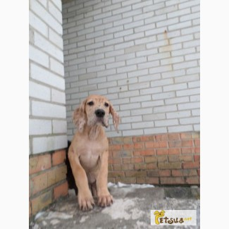 Продам щенка немецкого дога