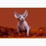 Котята Эльф, бамбино, Двэльф, канадский сфинкс от элитного питомника