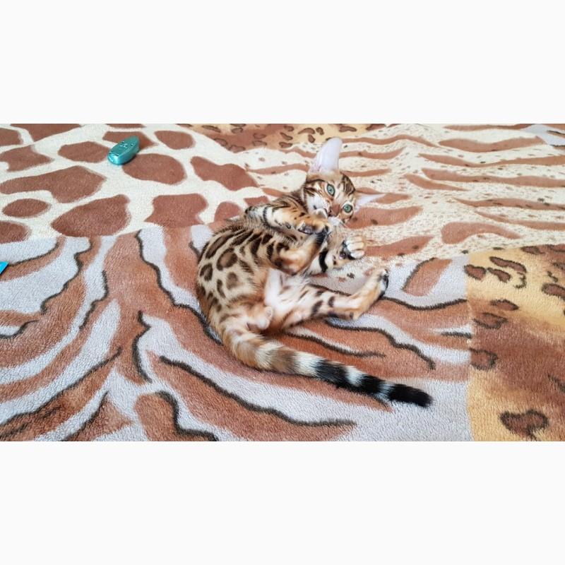 Фото 2/3. Бенгальский котенок Киев. Купить бенгальского кота Киев