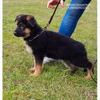 Продам перспективных племенных щенков немецкой овчарки