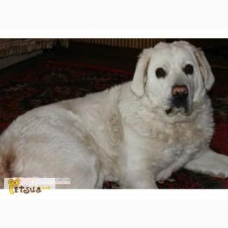 Продам щенков белой Подголянской овчарки