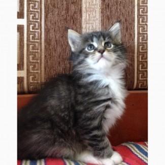 Кошечкка породы мейн-кун. Месячное чудо красивого окраса черный табби