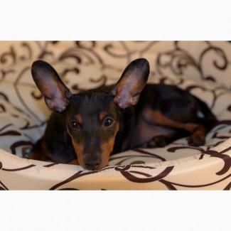 Высопородные щенок цверпинчера (с паспортом), только в хорошие руки