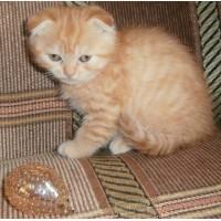 Кот скоттиш-фолд красный пятнистый 2, 5 мес