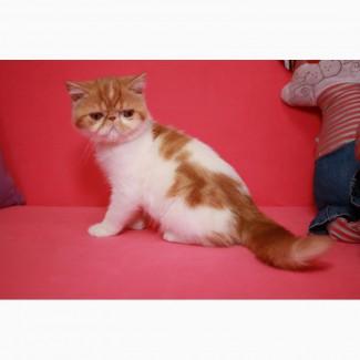 Экзотический короткошерстный котёнок. Девочки, есть и мальчики