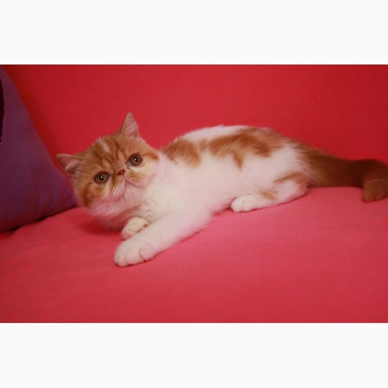 Фото 2/3. Экзотический короткошерстный котёнок. Девочки, есть и мальчики
