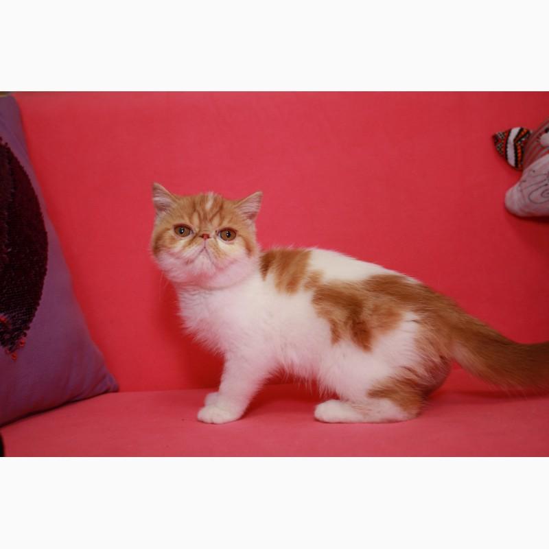 Фото 3/3. Экзотический короткошерстный котёнок. Девочки, есть и мальчики