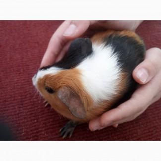 Морские свинки, продам не дорого