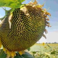 Посівний Соняшник Амато (SU 50г/га) ВНІС