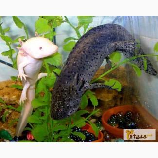 Звере-рыбка, первобытная амфибия - мексиканский аксолотль! Доставка по Киеву!