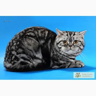 Кот для вязки шотландской вислоухой