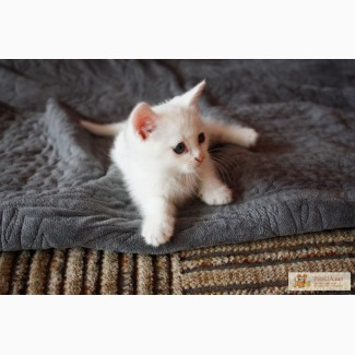 Отдам красивого белого котенка в хорошие руки.