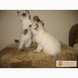 Котята породы меконгский бобтейл