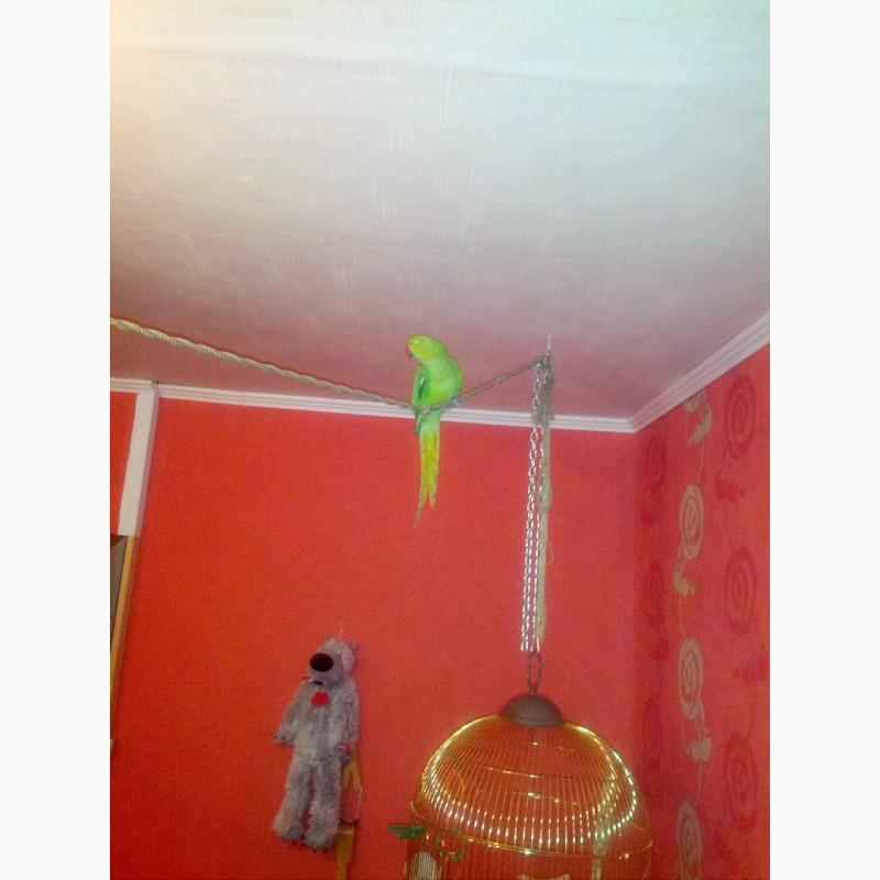 Фото 1/2. Отдам в добрые руки ожерелового попугая