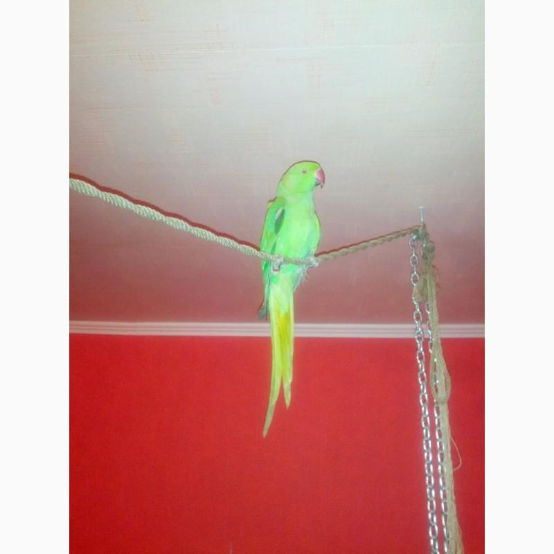 Фото 2/2. Отдам в добрые руки ожерелового попугая