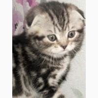 Шотландские котята с правом разведения