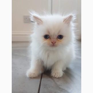 Персидські кошенята
