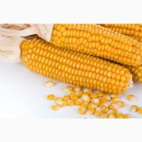 Насіння кукурудза Амарок 290 ( ВНІС)
