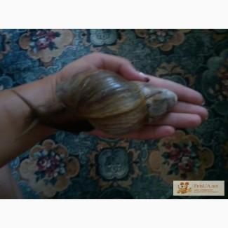 Продам улитят Achatina fulica от 5 грн