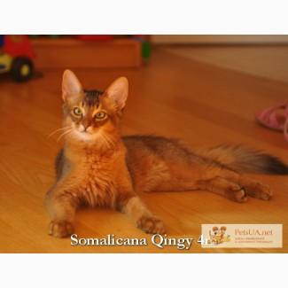 Котенок сомали шоу-класса, котик дикого окраса котенок сомали