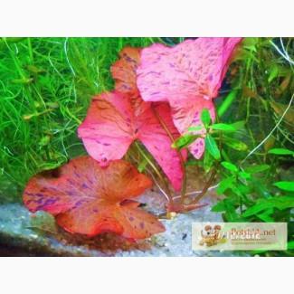 Самое красивое аквариумное растение Красная тигровая нимфея.